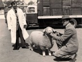 PWA433 1950s Jack Jeffery and his shepherd Fred Gale