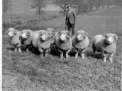 PWA436 1950s Fred Gale the shepherd with his Dorset Horn sheep on West Street Farm