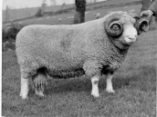 PWA444 1950s One of the prize winning Dorset Horn sheep from West Street Farm