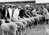 PWA446 1950s Sheep on show at local agricultural show